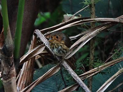 Ochre-breasted Antpitta (Refugio Paz de las Aves 091114 828A-RAR)