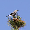 And a great mountain species also on the gray theme: Clark's Nutcracker! (Photo by participant Chris DeCilio)