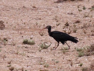 It's always a relief to once again see Waldrapp (aka Northern Bald Ibis). The species is critically endangered, with a remnant population of only several hundred birds in Morocco and Syria. (Photo by guide Jesse Fagan)