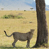 Cheetah in the Masai Mara -- even a trunk's worth of shade helps! (Photo by guide Terry Stevenson)