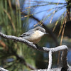 Pygmy Nuthatch is a specialty of the pine forests of the Sierra. (Photo by participant Chris DeCilio)