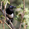 The blue-faced mauritanica subspecies of Eurasian Magpie is endemic to North Africa. (Photo by guide Jesse Fagan)