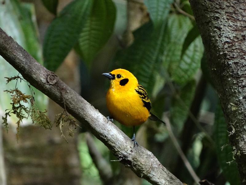 Golden Tanager (Refugio Paz de las Aves 091114 900A-RAR)