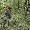Hard to miss a Scarlet-headed Blackbird in the greenery of its marshy habitat! (Photo by guide Dan Lane)