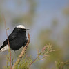 Another snappy wheatear on the tour: White-crowned (Photo by participant Sandy Paci)