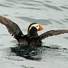 Doesn't matter how many times you've seen it, it's still a great bird to enjoy: Tufted Puffin (Photo by participant Chris DeCilio)