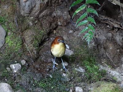Yellow-breasted Antpitta (Refugio Paz de las Aves 091114 730A-RAR)