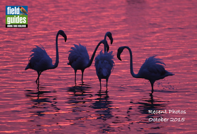 We recently ran two departures of our France tour, and we begin our October 2015 recent photos gallery at sunrise in the famous Camargue with these elegant Greater Flamingos. (Photo by guide Eric Hynes)
