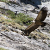 The enormous Eurasian Griffon is a daily sighting up in the Pyrenees. (Photo by participant Kevin Watson)