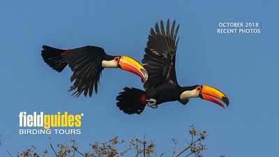Our October Recent Photos Gallery begins with this dramatic image of a pair of Toco Toucans in flight by participant Becky Hansen on our recent Bolivia's Avian Riches tour. We'll showcase tours from Brazil, Peru, Arizona, Oregon, Ethiopia, Morocco, and France as well. Enjoy!