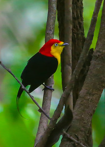 """You can count on plenty of """"oohs"""" and """"aahs"""" when we catch up to a Wire-tailed Manakin. Photo by participant Rick Woodruff."""