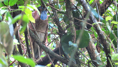 As far as finding a roosting Boat-billed Heron goes, this is a pretty clear view. Photo by guide Micah Riegner.