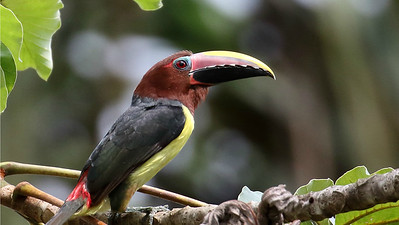 Green Aracari uses its spectacular bill to feed primarily on a variety of fruits. Photo by participant Myles McNally.