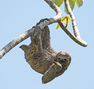 Speaking of hanging out, this Three-toed Sloth seems to be enjoying the rays. Photo by participant Myles McNally.