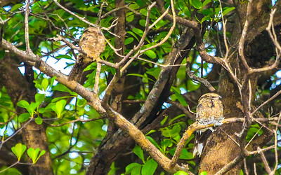 Ladder-tailed Nightjar is a classic species of Amazonia, and birds frequently choose riverbanks for their dayroost. Photo by participant Rick Woodruff.