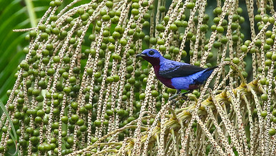 This eye-popping bird is a Purple-breasted Cotinga coming to feed on palm fruits. Photo by participant Roger Holmberg.