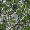 First, a quick vision test. A Forest Bittern can be tough to spot—but what a great find! (Photo by guide Dave Stejskal)