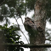 A Papuan Frogmouth does its best tree-stump imitation on a dayroost at Varirata National Park outside of the capital city of Port Moresby. (Photo by Dave Stejskal)
