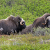 A couple of Muskoxen near Nome—Alaska is not only great for birds but for mammals as well, and Cliff and group tallied more than 20 species along the way.