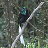 The bizarre visage of a Ribbon-tailed Astrapia: with head and throat adorned with iridescent feathers, adult males like this one appear, simply put, a little weird up close. But those long tail plumes...wow! This Ribbon-tail, photographed by guide Dave Stejskal, was one of 23 species of birds-of-paradise recorded on this year's trip.