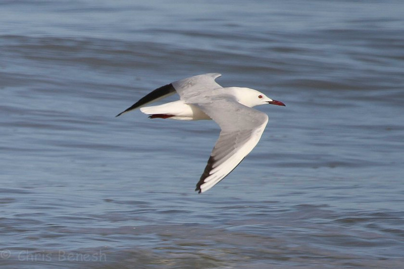 One of three lovely Slender-billed Gulls that flew past the group at Coto Doñana, photographed by guide Chris Benesh.