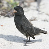 """Small Ground-Finches, one of the famous """"Darwin's finches,"""" are ubiquitous -- found in busy, approachable multitudes nearly everywhere our groups go. The adult males are black. (Photo by guide Megan Crewe)"""
