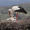 We had great views of the iconic White Stork along our Spain route, with lots of nestlings at various nests. That wraps up this month's images from recent tours...thanks for having a look, and we'll be back with fresh pics next month from more great Field Guides tours! (Photo by guide Chris Benesh)