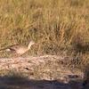 A Red-legged Seriema strides through the Pantanal grassland...