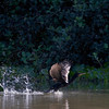 ...and a Neotropic Cormorant takes off from the river with wings fully fanned. (Photos by guide Marcelo Padua)