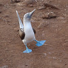 There are few things more endearing than a dancing Blue-footed Booby -- particularly when he's standing in the middle of the path, apparently displaying to you! Classic pose... (Photo by guide Megan Crewe)