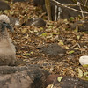 """We decided that Waved Albatross chicks look a bit like poodles, at least at this age!  The egg on the right is an """"insurance policy,"""" laid in case the first egg proved infertile -- and abandoned once the first egg hatched. (Photo by guide Megan Crewe)"""