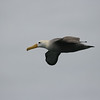 Once it's airborne, the effortless grace of a Waved Albatross is breathtaking. (Photo by guide Megan Crewe)
