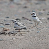 Piping Plovers approach the northeasternmost reaches of their breeding range in Nova Scotia. (Photo by guide Chris Benesh)