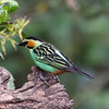 Golden-eared Tanager (Photo by participant Steve Wakeham)