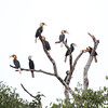 This painterly image by participant Peter Gasson is of an impressive group of Blyth's Hornbills, each roughly three feet long.