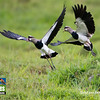 Participant C. V. Vick's image of two Southern Lapwings from our Montane Ecuador tour shows off not only the striking plumage and graceful form of these birds but the carpal spur as well. We'll get back to several of our Ecuador and Peru tours later in the gallery, but first, let's begin closer to home.