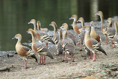 Plumed Whistling-Ducks are some of the loveliest of their kin. (Photo by participant Peter Gasson)