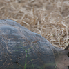 A Small Ground-Finch hitches a ride and forages atop a massive Galapagos Tortoise. (Photo by participant Liz West)