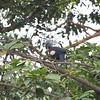 One of the biggest birding prizes of all on a New Guinea tour: a crowned-pigeon! This is a Southern Crowned-Pigeon, one of three species (Victoria and Western being the other two) that replace each other in different parts of the island. At almost three feet long, they are truly spectacular! (Photo by participant Peter Gasson)