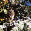 This Yungas Pygmy-Owl was a great find for Jesse's group. (Photo by guide Jesse Fagan)