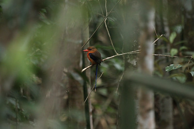 "New Guinea features lots of in-forest birding, and some of the most hoped-for species are the several paradise-kingfishers, which are not tied to water but instead hunt for insects inside the forest. This Brown-headed Paradise-Kingfisher gives a nice sense of ""being there."" (Photo by participant Peter Gasson)"