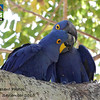 Our September 2015 gallery opens with Hyacinth Macaws, the largest of all macaws, from our Jaguar Spotting: Pantanal & Garden of the Amazon tour in Brazil. Like other parrots, Hyacinths do a lot of mutual preening and billing (carefully!) with those huge beaks. (Photo by participant Valerie Gebert)