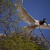 A Jabiru takes flight from its nest--giving us the true feel for the bird's immense size and wingspan. (Photo by participant Valerie Gebert)