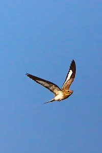 This photo by participant Rick Woodruff gives a great look at the fancy wing pattern of a Sand-colored Nighthawk, a species regularly seen along Amazonian rivers.