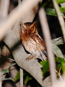 The shadow cast by a branch on this Tropical Screech-Owl gave a rich rust cast to the bird's breast in this image by participants David & Judy Smith.