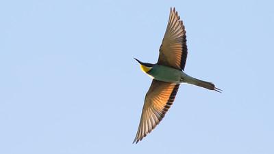 Guide Tom Johnson caught this elegant European Bee-eater overhead.