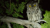 Our look at Western Screech-Owl was way beyond satisfying. (Photo by guide Doug Gochfeld)