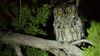 Western Screech-Owl azs16b Doug Gochfeld