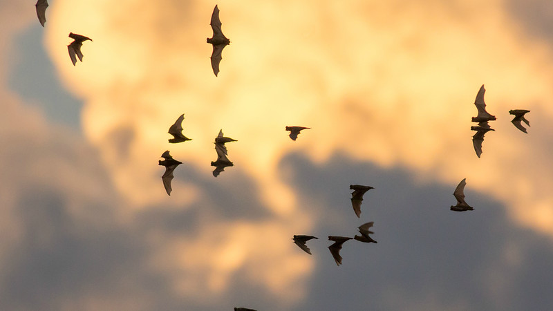 Brazilian Free-tailed Bats pouring out of a day roost for the night shift. (Photo by guide Doug Gochfeld)