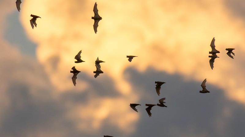 Brazilian Free-tailed Bat flock sunset azs16b Doug Gochfeld